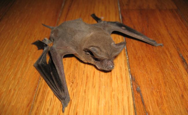 Little-Brown-Bat-1