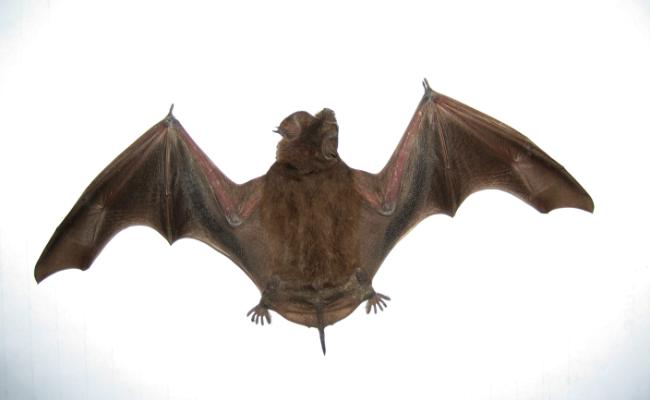 Little-Brown-Bat-2