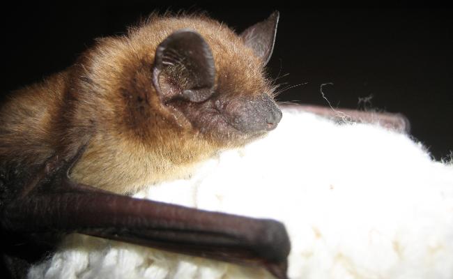 Little-Brown-Bat-3