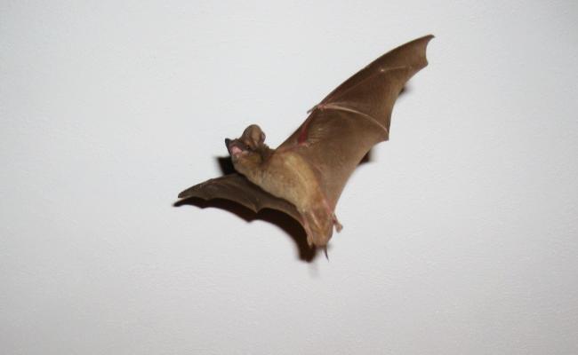 Little-Brown-Bat-5