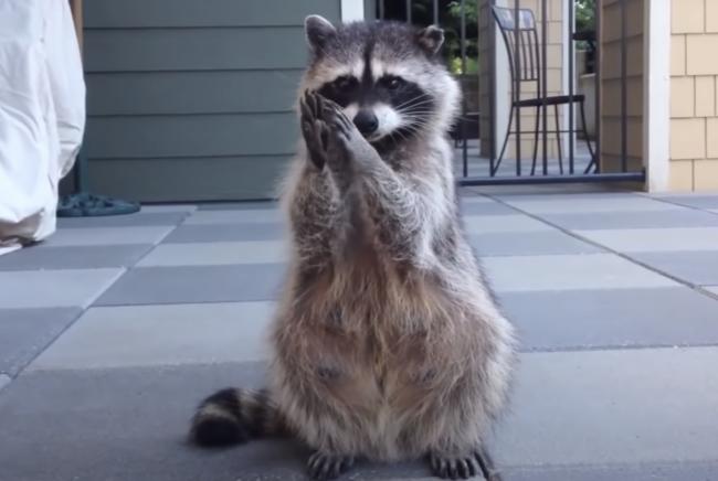 Raccoon-Begging
