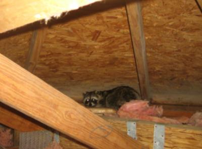 Raccoon-In-Attic-Repel