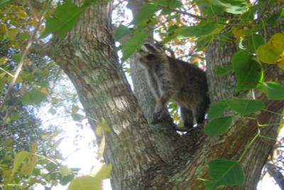 Raccoon-In-Tree
