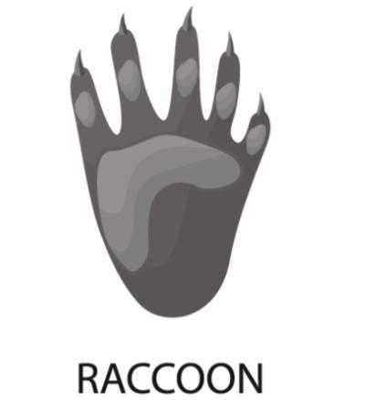 Raccoon-Paw
