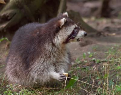 Racoon-Eating