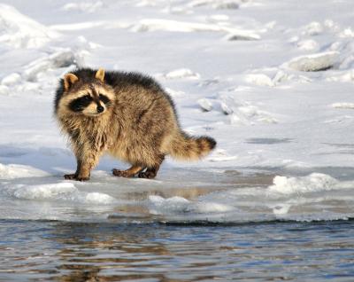 Racoon-Near-Water