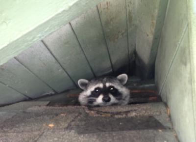 Racoon-Peeking