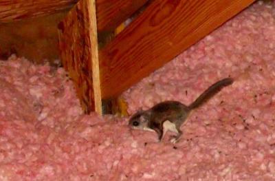 Squirrel-In-Attic