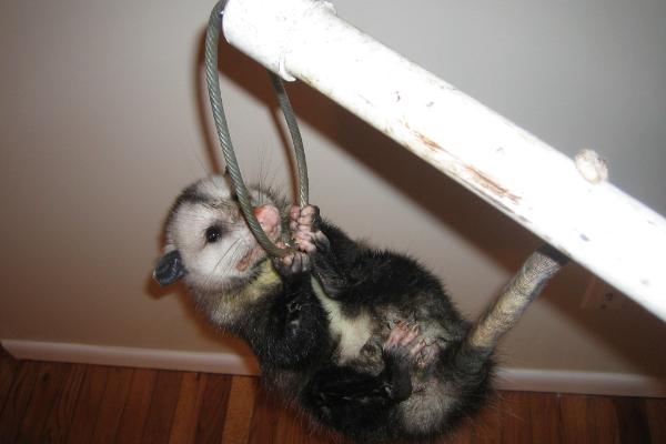 Baby-Opossum-Hanging