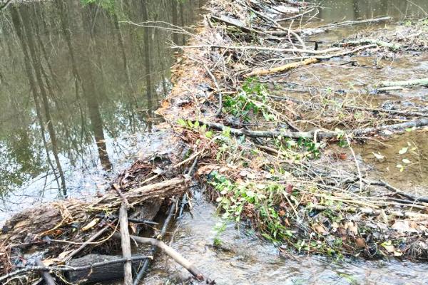 Beaver-Dam-Natural-Habitat