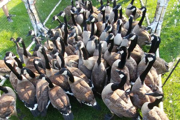 Goose-5