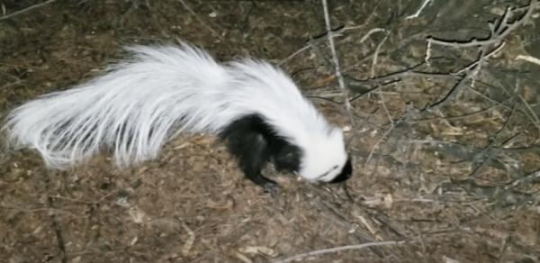 Hooded-Skunk