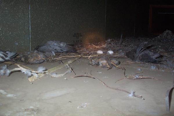 Not-Alive-Pigeons-Disease