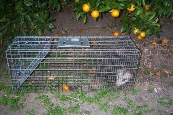 Opossum-10