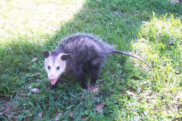 Opossum-11