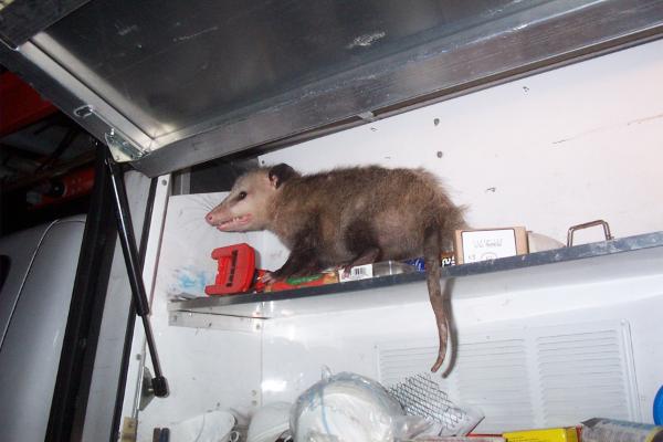 Opossum-12