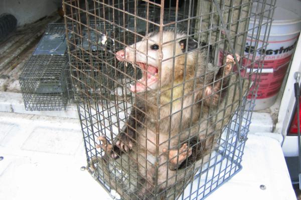 Opossum-4