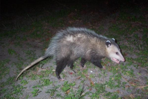 Opossum-6