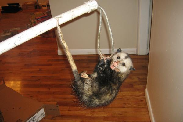 Opossum-7
