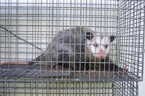 Opossum-8