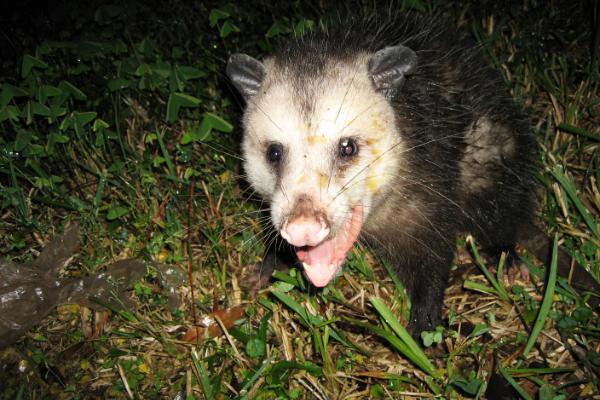 Opossum-9