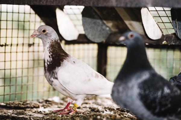 Pigeon-2