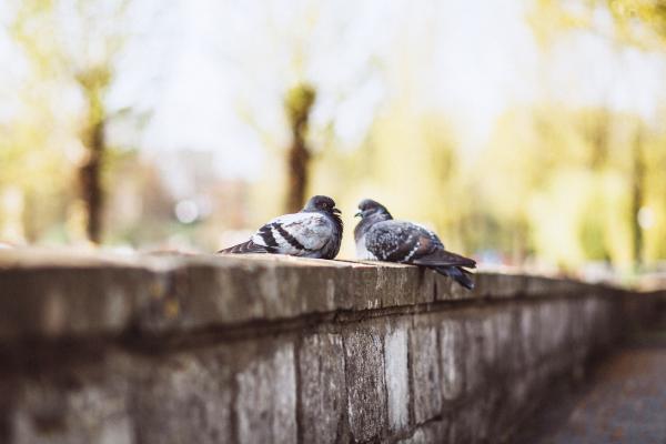 Pigeon-3