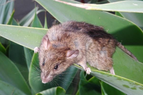 Rat-2