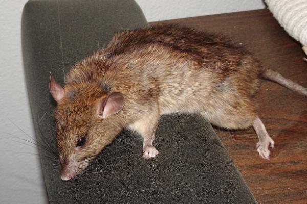 Rat-3