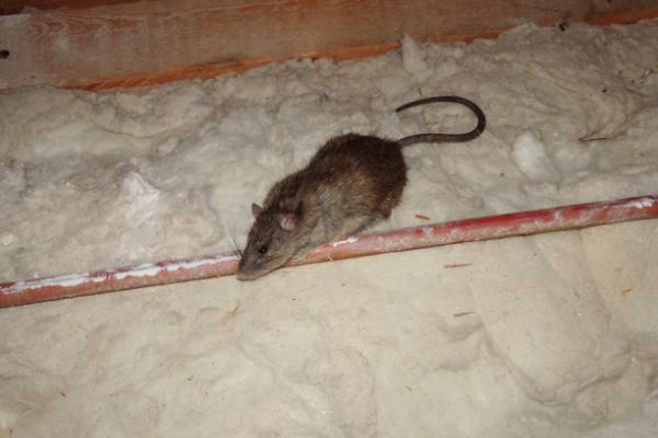 Rat-5