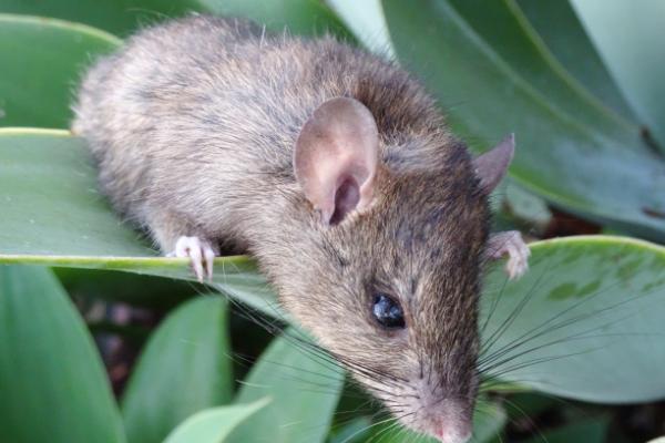 Rat-On-Leaf