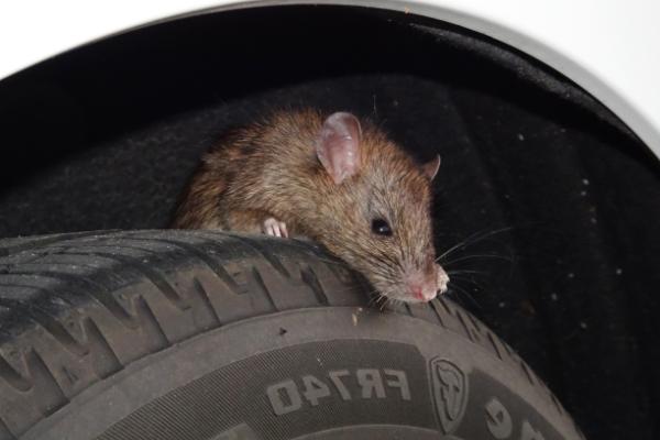 Rat-On-Tire