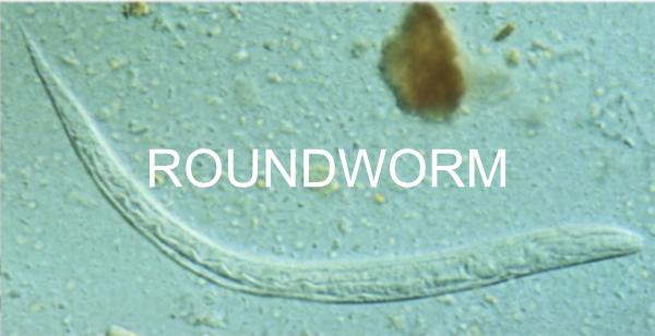 RoundWorm-Pigeon-Disease