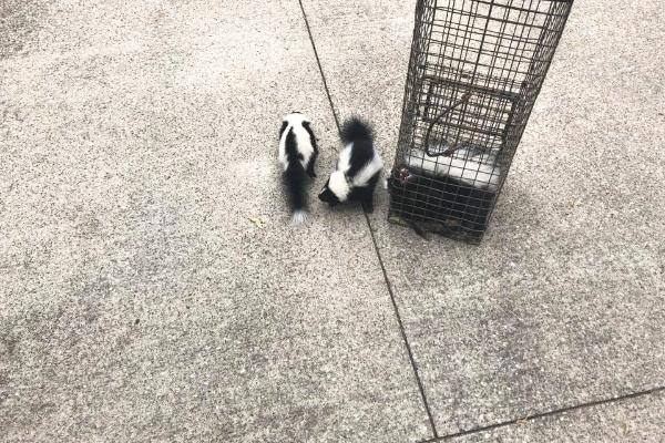 Skunk-3