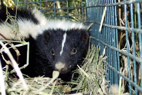Skunk-4