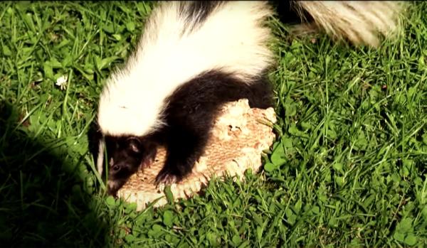 Skunk-Eating-Hornets-Nest-Diet