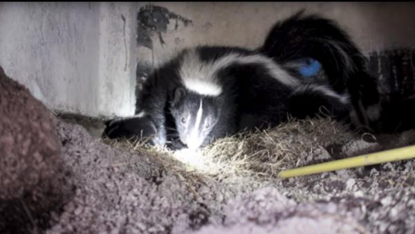 Skunk-Habitat-Den