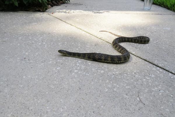 Snake-4