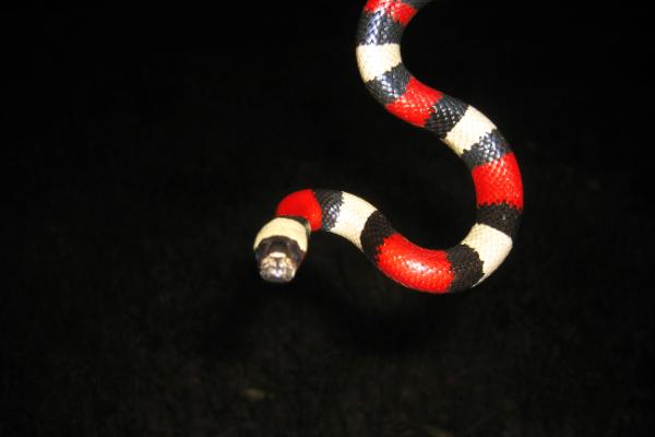 Snake-8