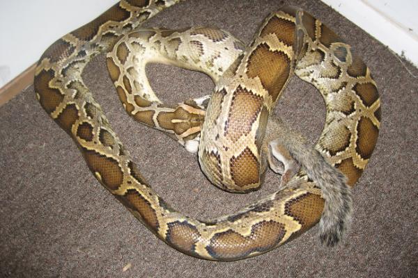 Snake-Constrictor-1