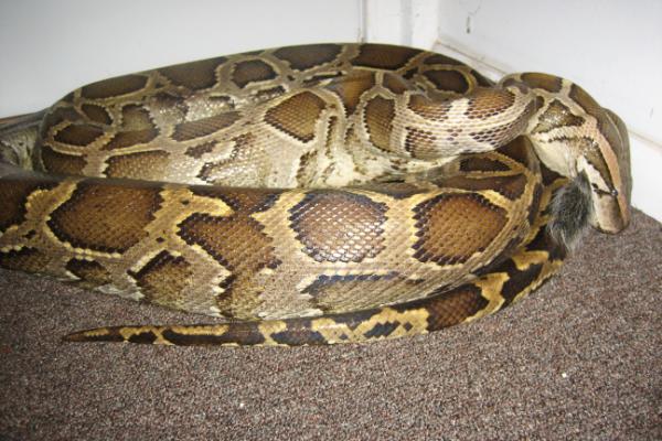 Snake-Constrictor-2