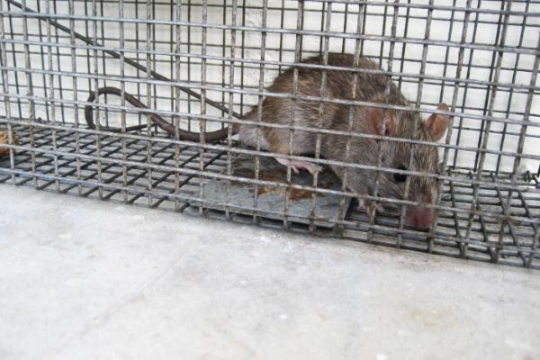 Trapped-Rat-Humane