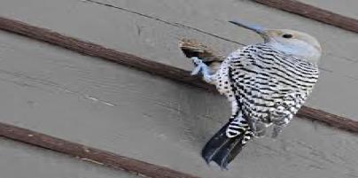 Woodpecker-5