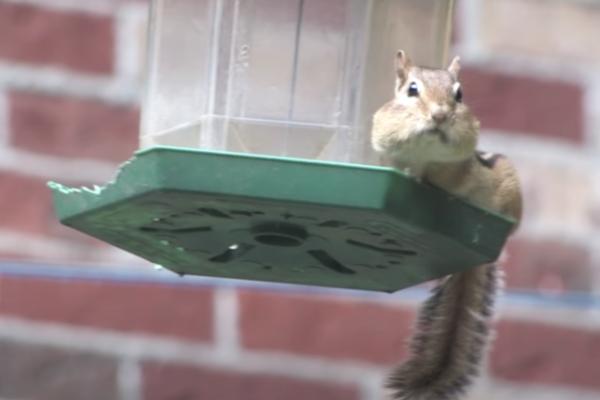 Chipmunk-Bird-Feeder