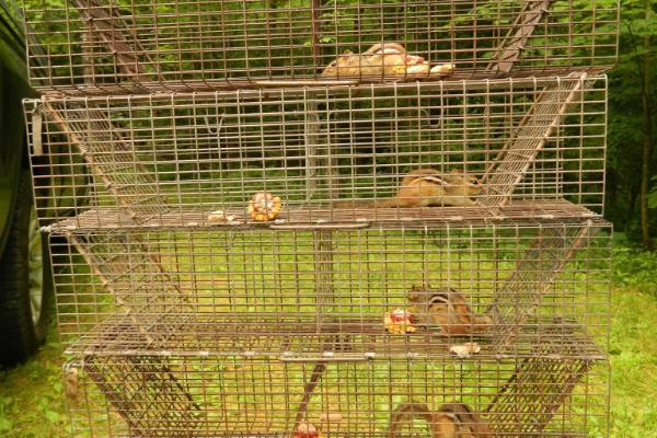 Chipmunks-Trapped-3