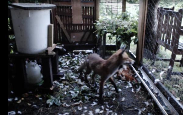 Fox-In-Chicken-Coop